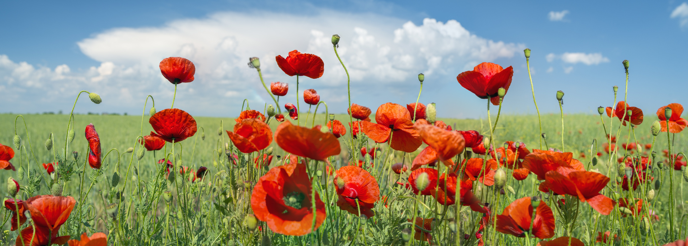 red poppy panorama